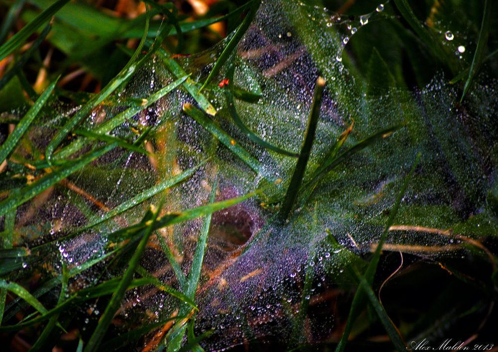 Morning Dew on Web by amaldon