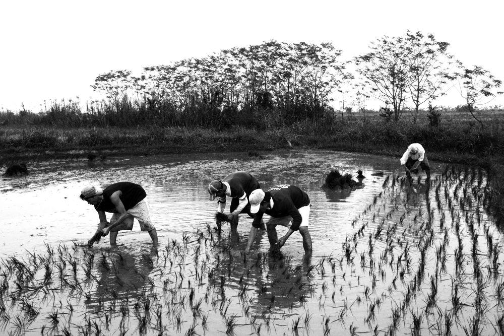 Planting rice, Hacienda Luisita by nonoyespina