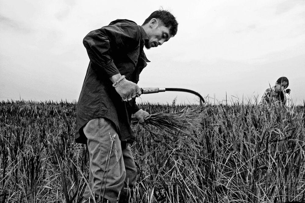 Rice harvest, Hacienda Luisita by nonoyespina
