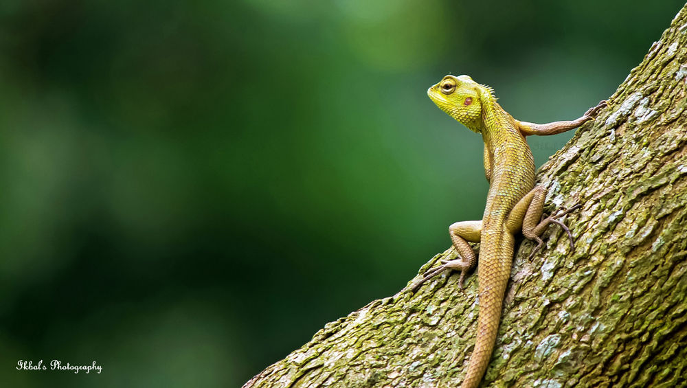 গিরগিটি / Oriental Garden Lizard or Eastern Garden Lizard or Changeable Lizard/ (Calotes versicolor) by ikbal121