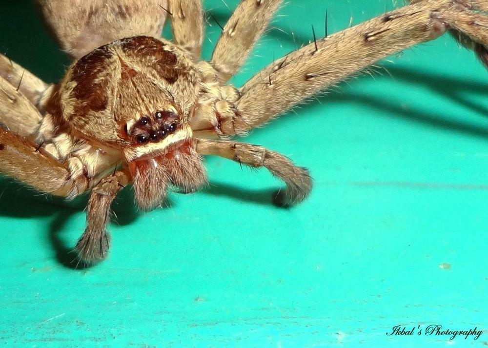 Spider by ikbal121