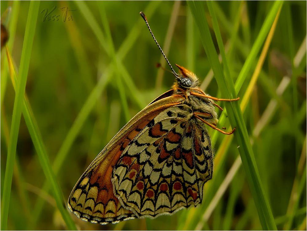Butterfly by VessTa
