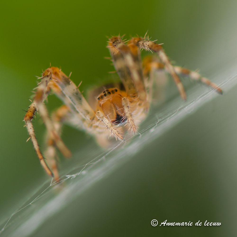 spider by annemariedeleeuw16