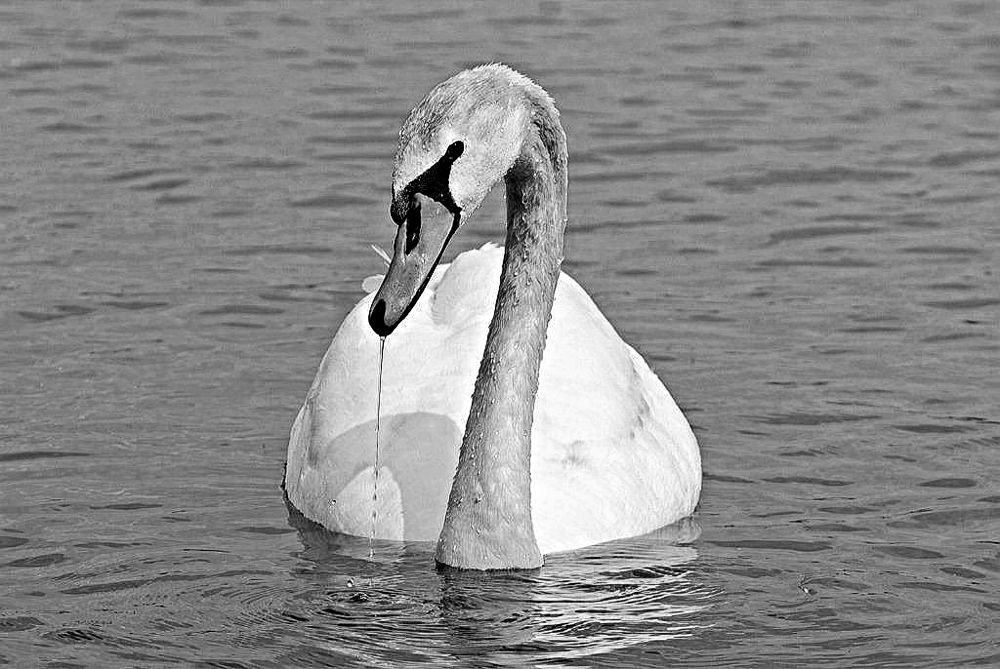 Photo in Animal #saseoche #b/w #swan #nature #animal #wildlife #bird #drip
