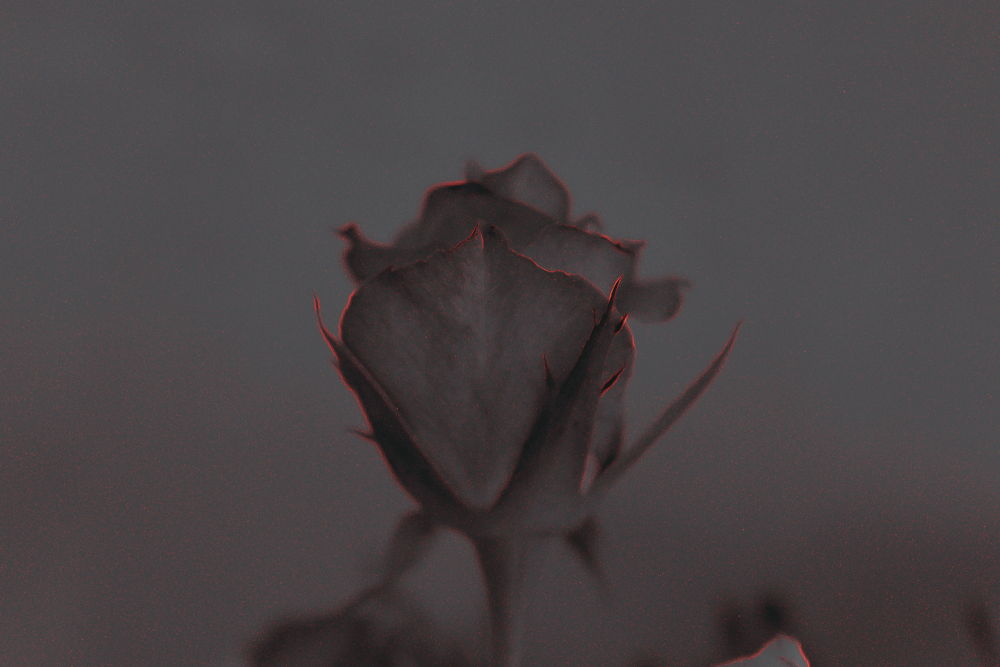 rose in b/w by Charuhas Korde