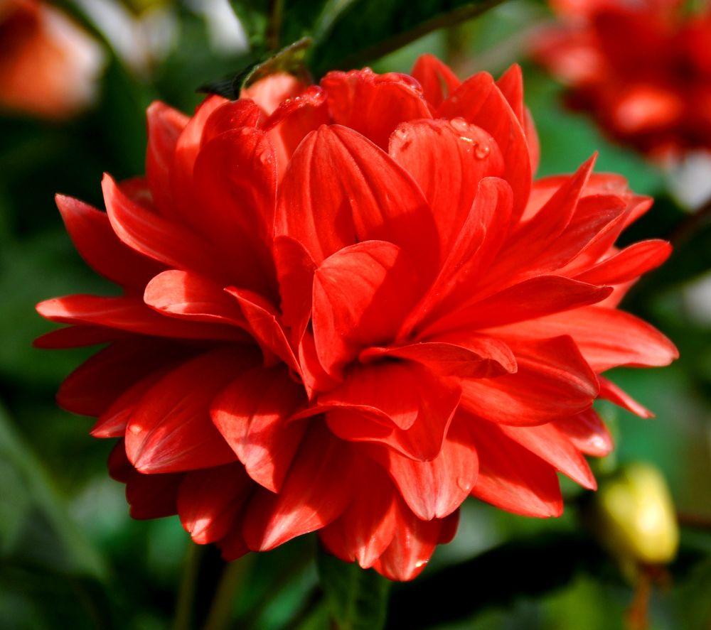 Red Dahlia hybrida by toknujumbelalang