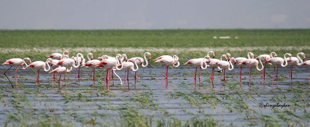 Flamingo, Phoenicopterus roseus  by alirizabaykan
