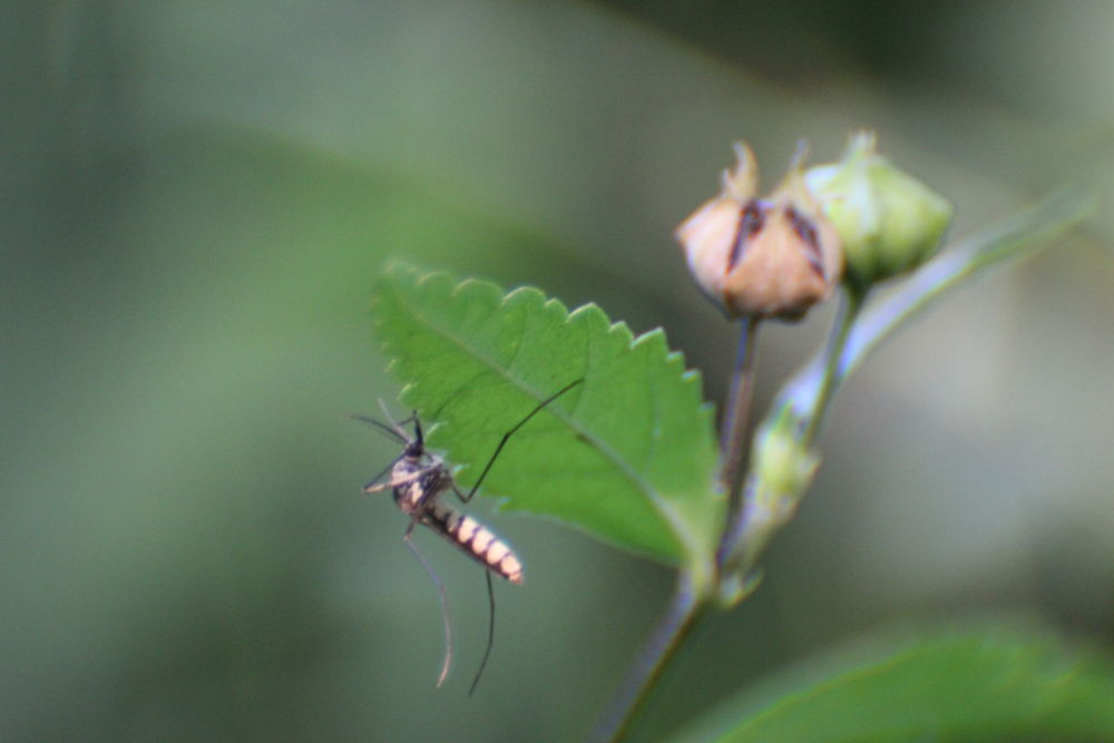 IMG_7544 insect that killed many..... by ganatrapuneet