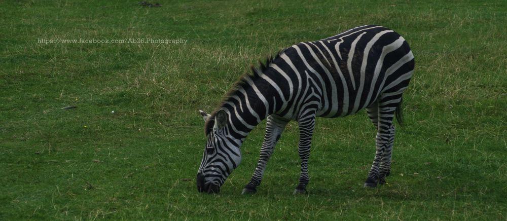 Zebra! by Abhishek Kumar