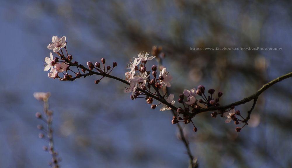 Cherry Blossom in UK....! by Abhishek Kumar