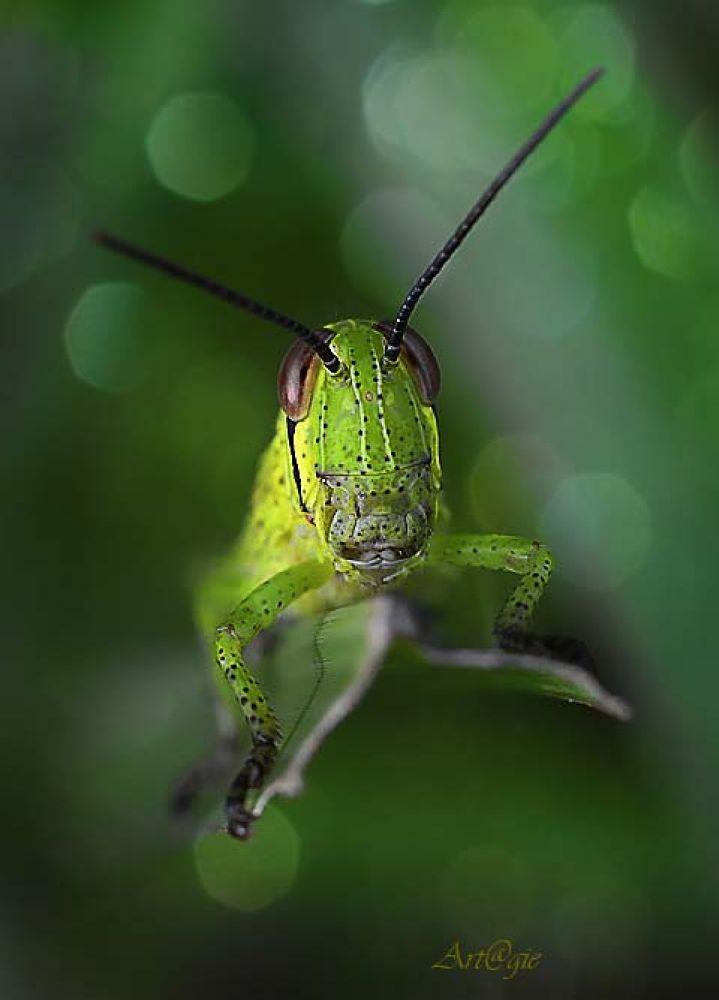 Grasshopper by gnyomi