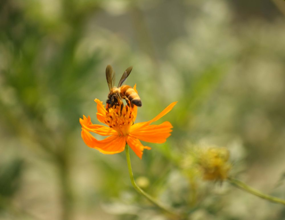 bee take sweet from flower by TRIDIP RAJBONGSHI
