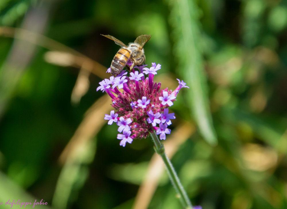 bee by defilippifabio
