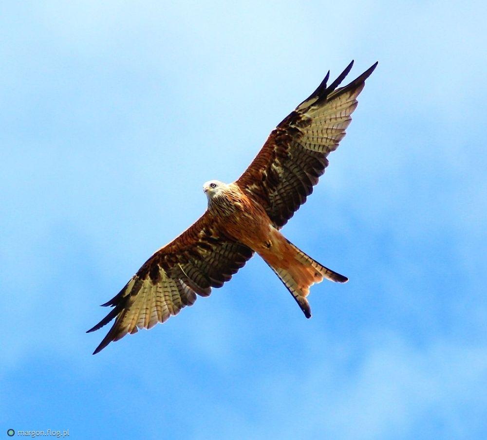 Red Kite milvus milvus by Margonis