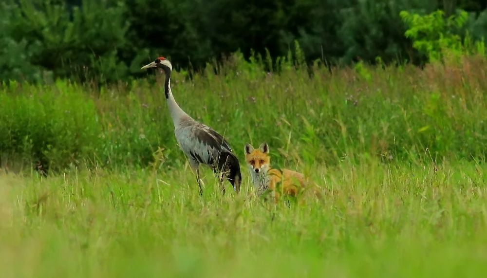 Fox and Common Crane by Margonis