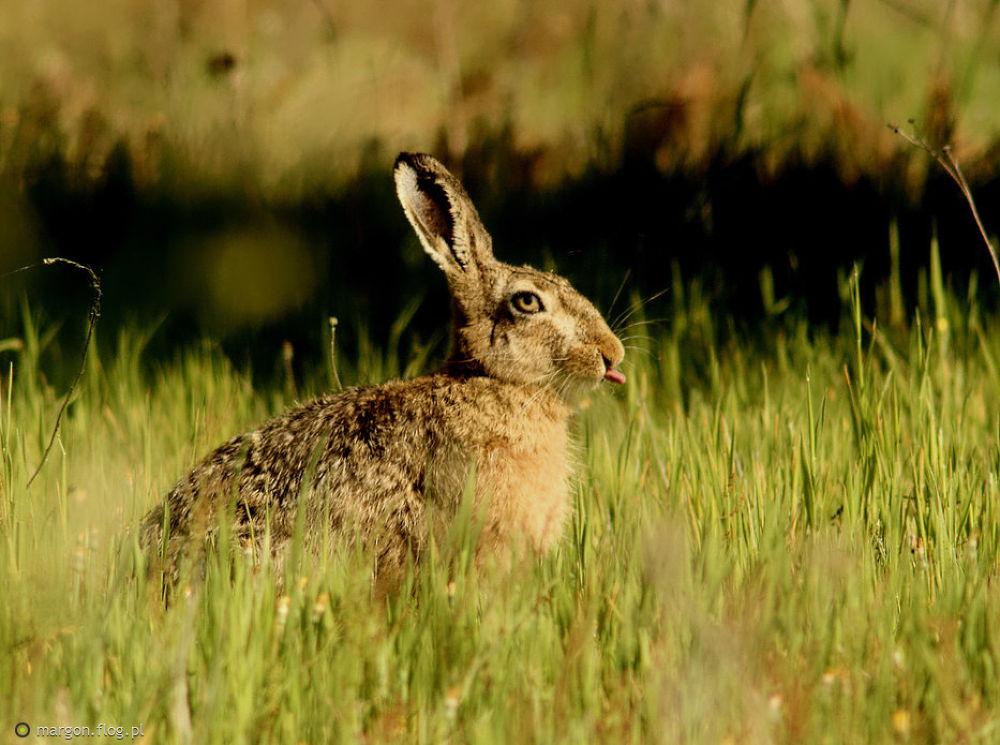 European hare (Lepus europaeus) by Margonis