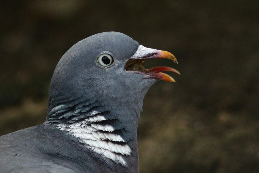 Common Wood Pigeon (Columba palumbus) by Margonis