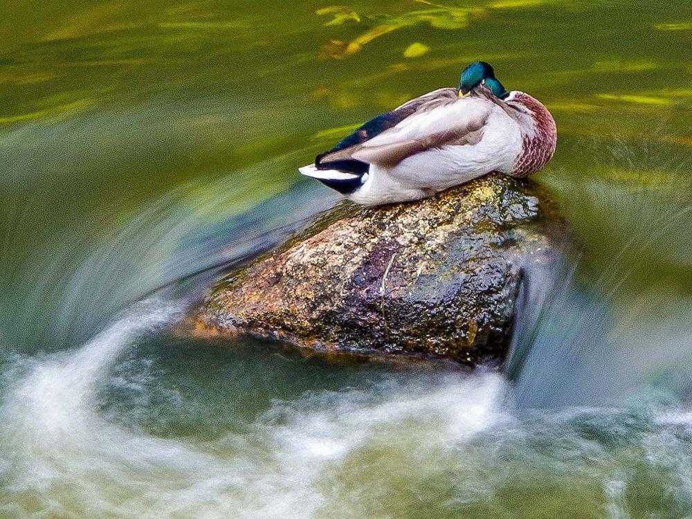 Sleeping duck by stephankrahn