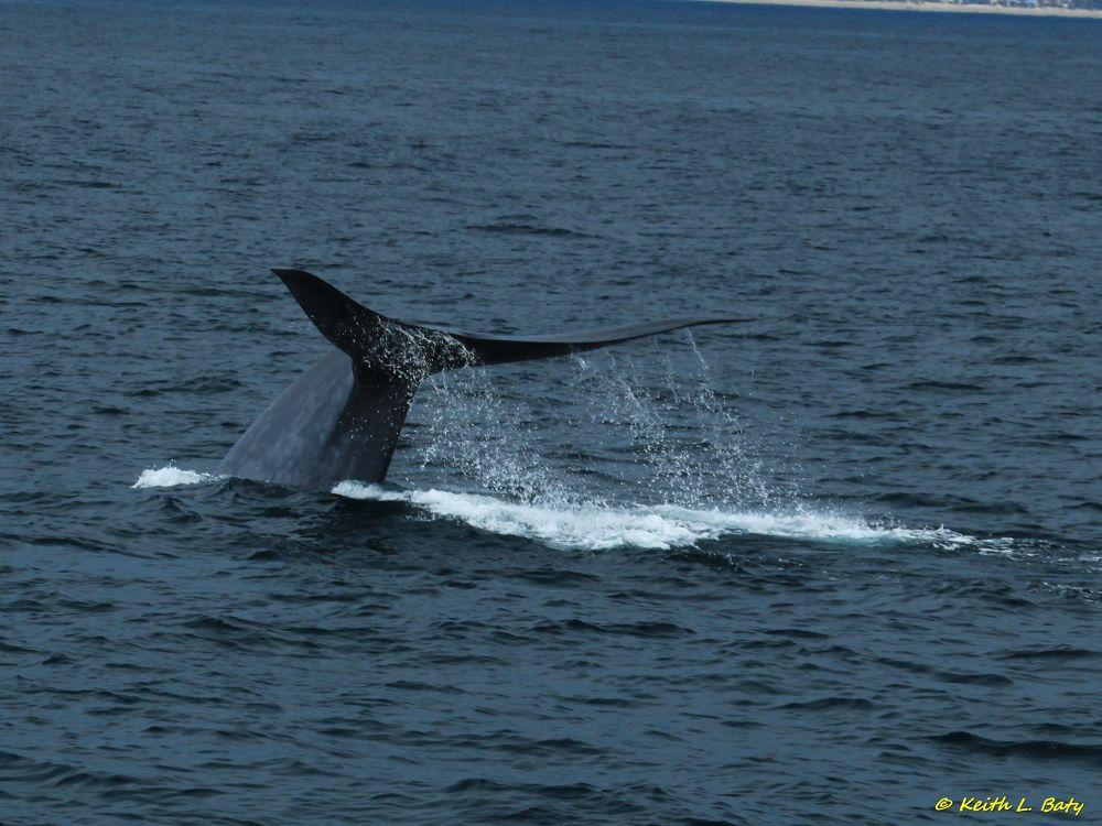 Blue Whale ~ Newport Beach Ca. by keithbaty16