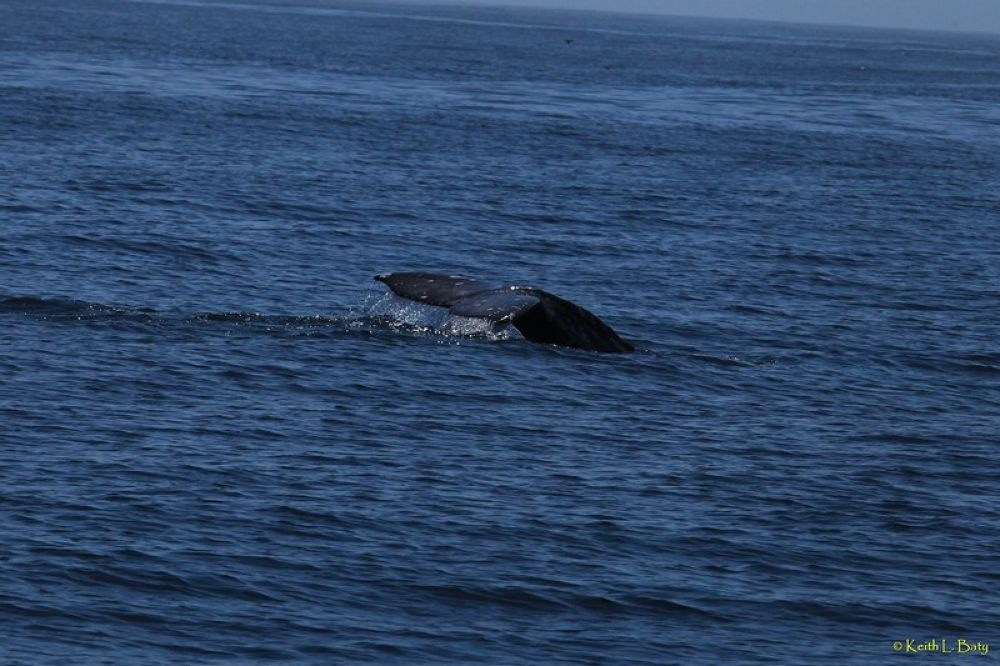 Gray Whale ~ Fallaones Islands by keithbaty16