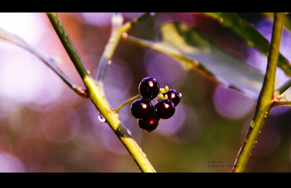 the black fruit  by aswinsphotography