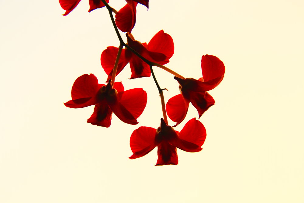 red orchids by aswinsphotography