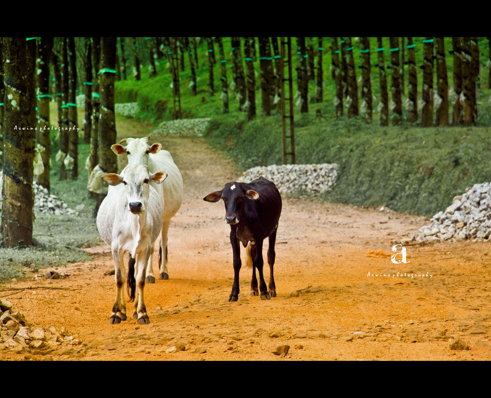 Photo in Random #cows #nature #together #strangers #love