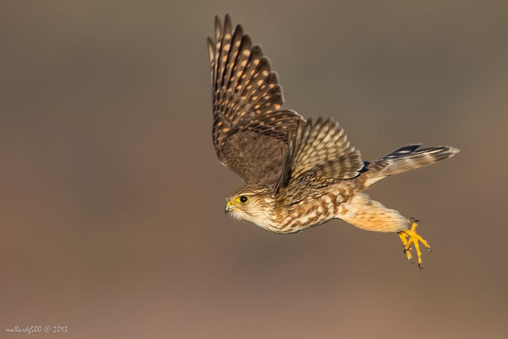 Merlin in flight by Phoo Chan