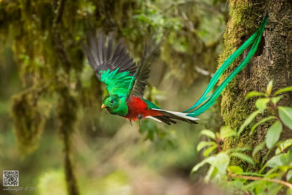 Resplendent Quetzal (Male) by Phoo Chan
