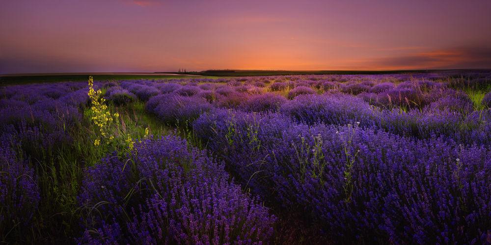 Lavender after Sunset by albenavmarkova