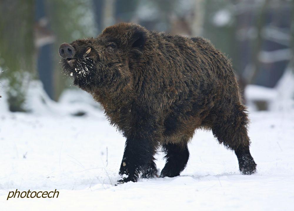 Wild boar by vcech