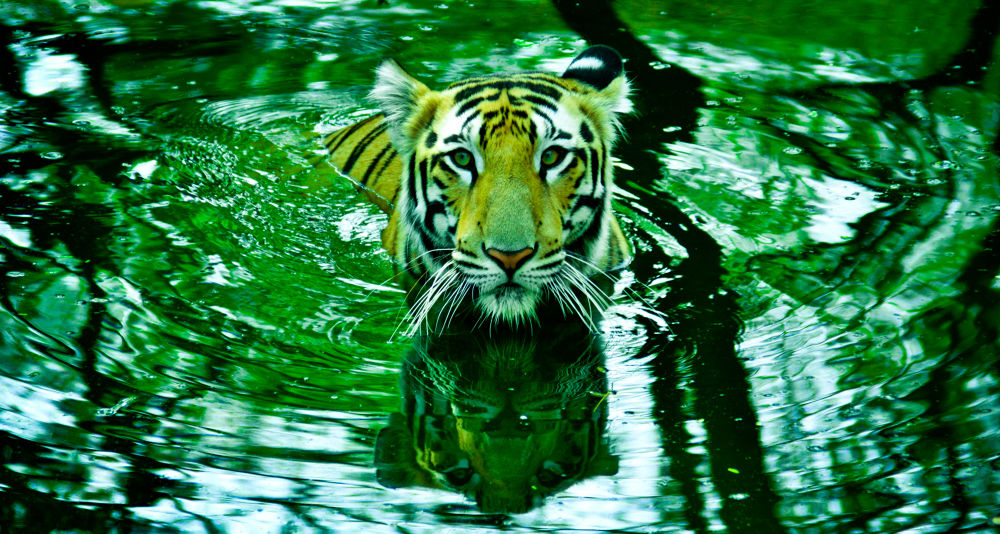 tiger-7 by anantheswarg881