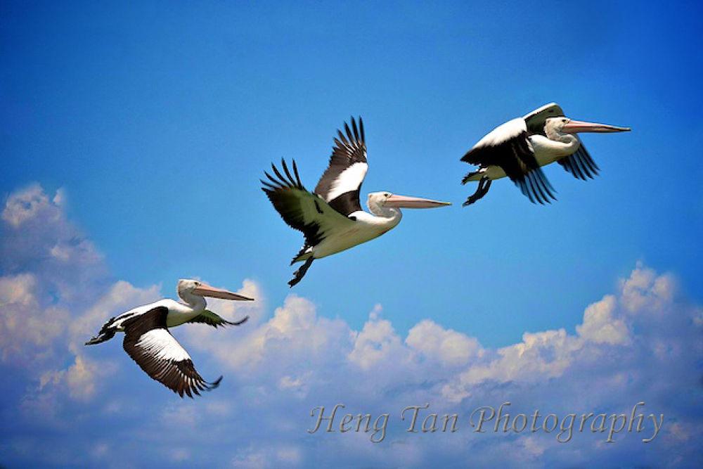Flying Pelicans, Gold Coast Australia       http://heng-tan.artistwebsites.com/galleries.html  by Heng Tan