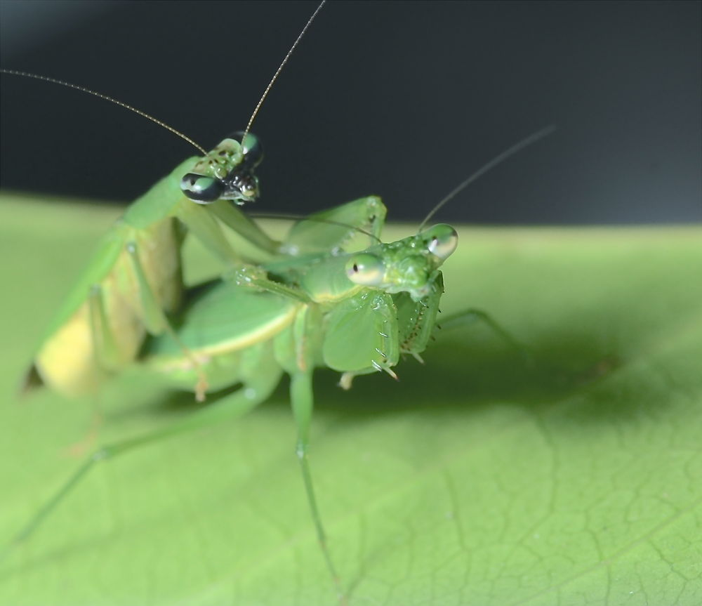 Mantis, by Ranikkor.