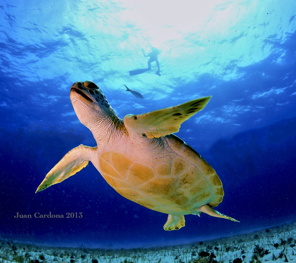 Sea Turtle by cancunsblue