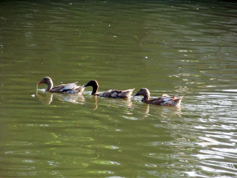 Ducks by sumonjhbd69
