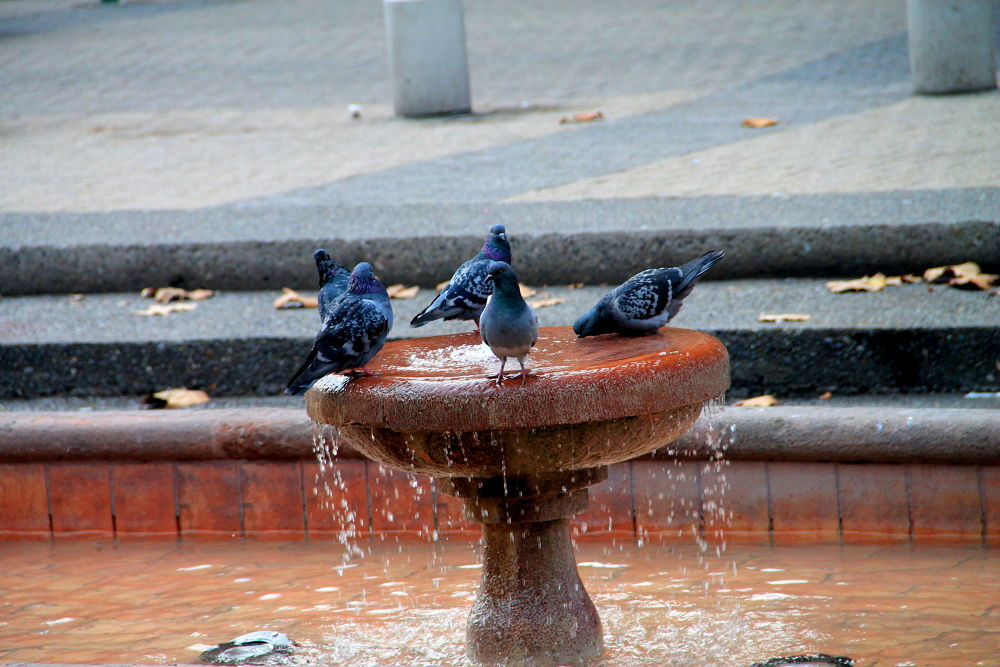 pigeons in a fountain by ichernin