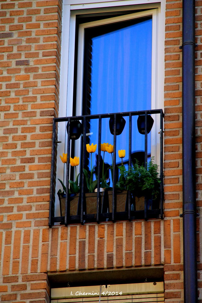 tulips growing on the balcony by ichernin