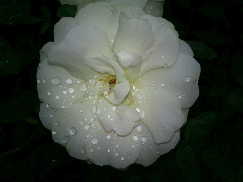 Rose n rain ...........:) by ravanti
