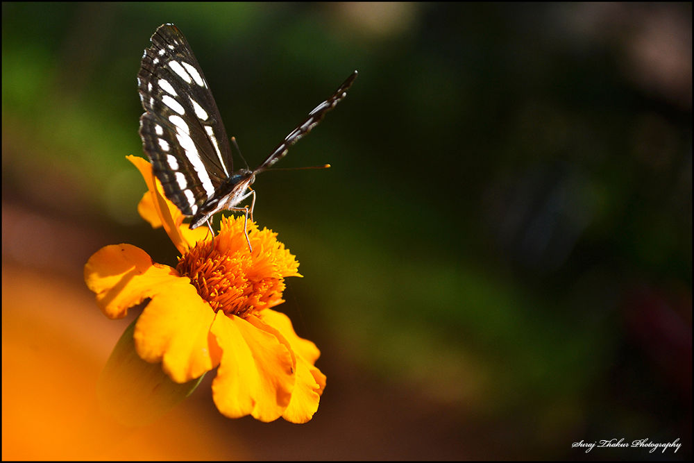 Butterfly About to take off.... by surajthakoor