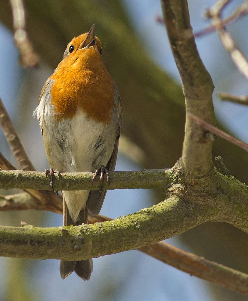 Robin by uksweetheart