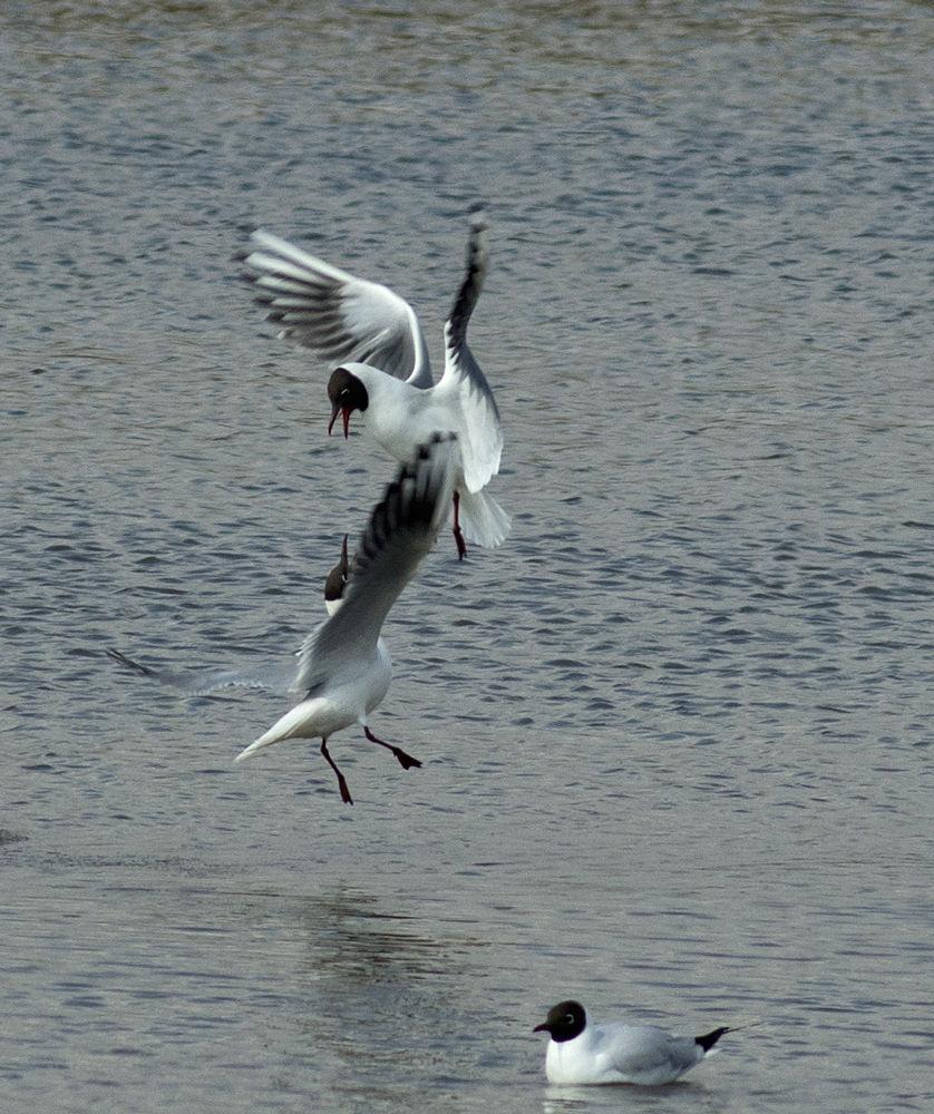 birds fighting by uksweetheart