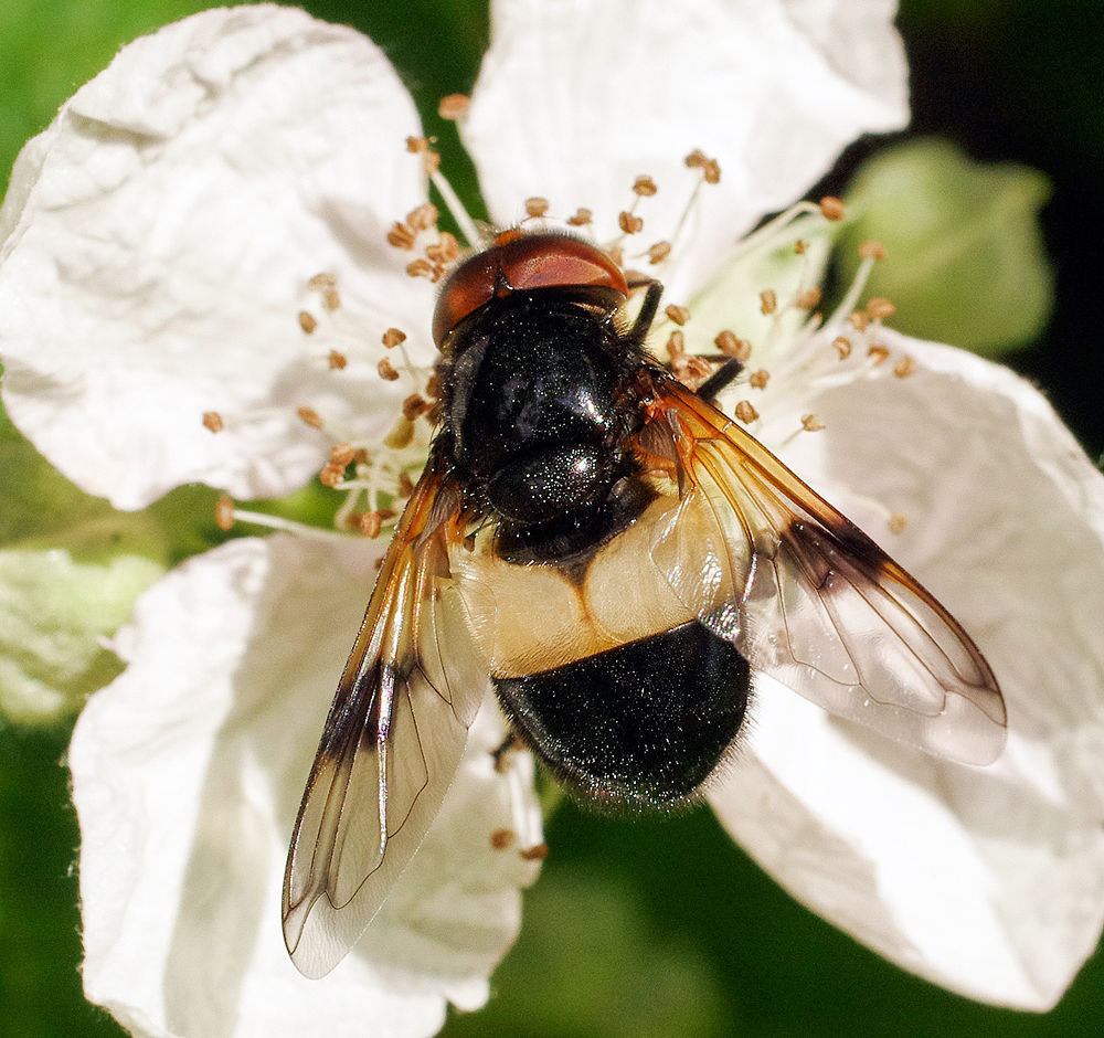 Volucella pellucens - Hoverfly by uksweetheart