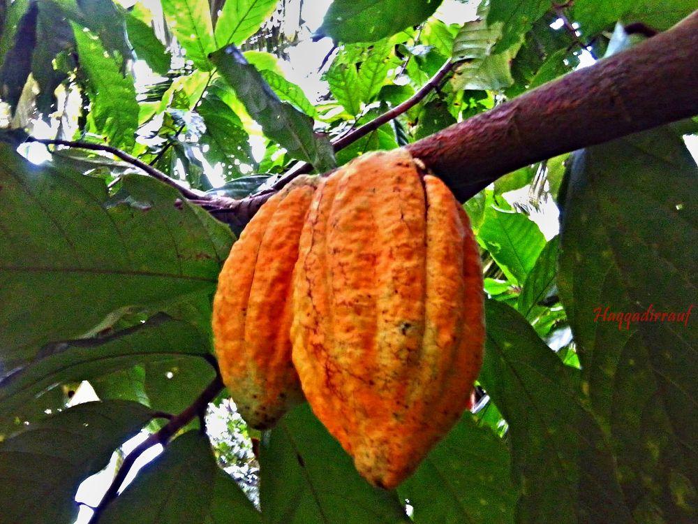 Coklat by Haqqadirrauf