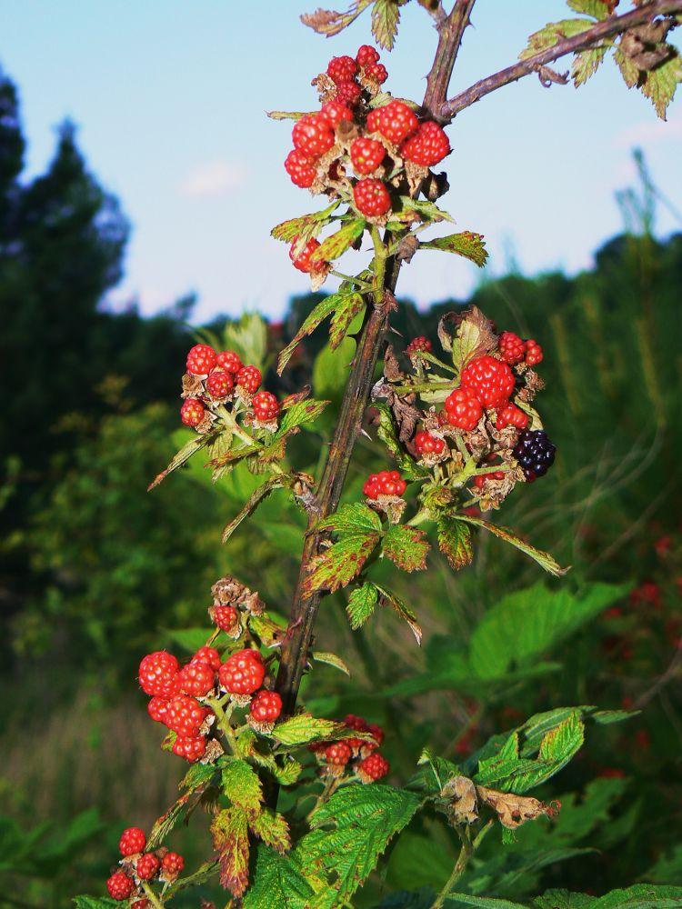 Berries.JPG by reaystevens7
