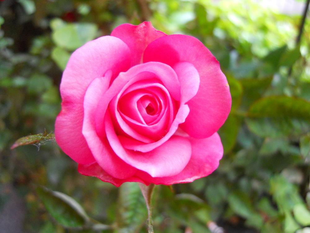 rosellina 7.6.13  by Dolceluna33