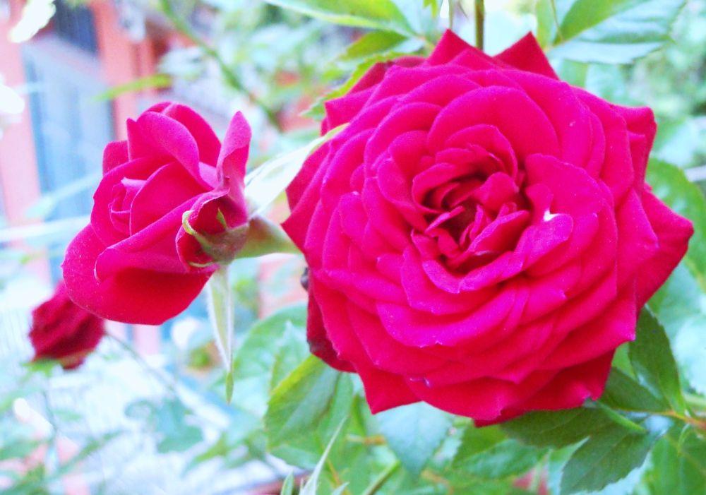 rose 19giugno13 by Dolceluna33