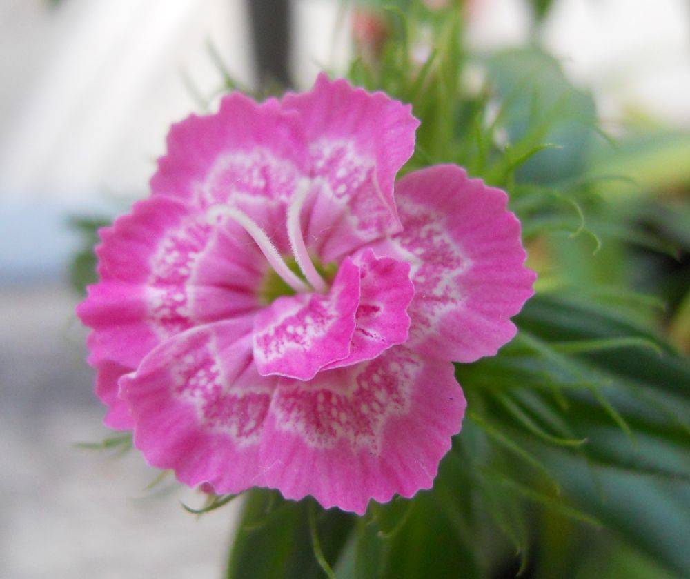 garofanino rosa by Dolceluna33