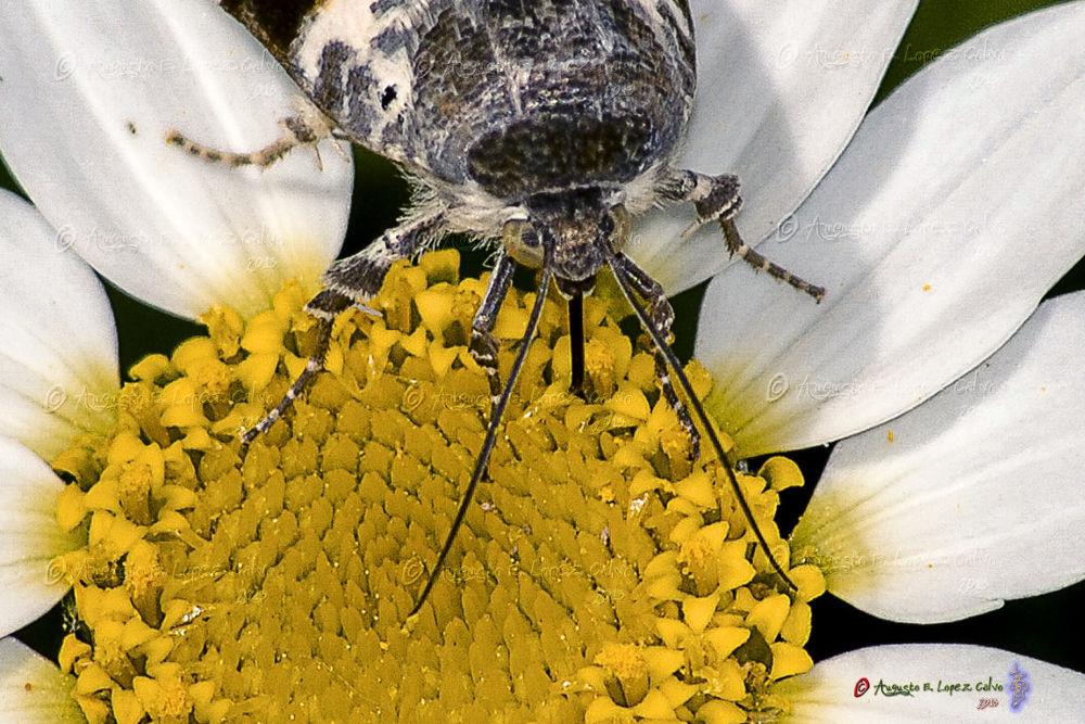 Acontia lucida libando néctar by Augusto E. López Calvo