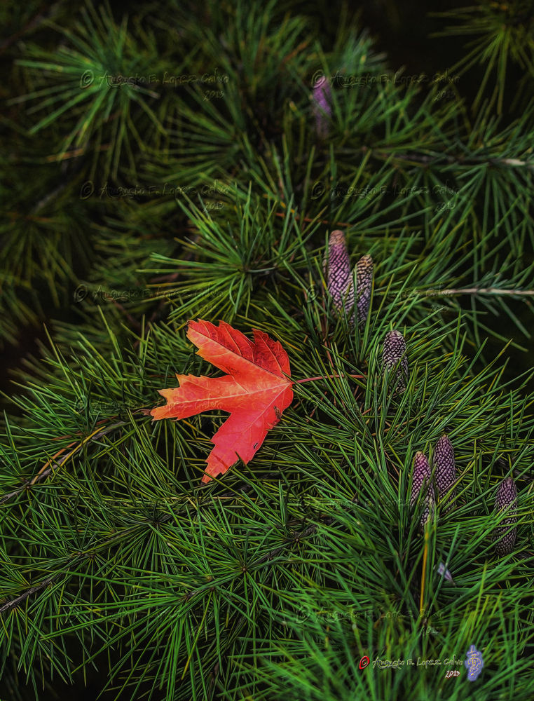 Contraste en rojo otoño. by Augusto E. López Calvo